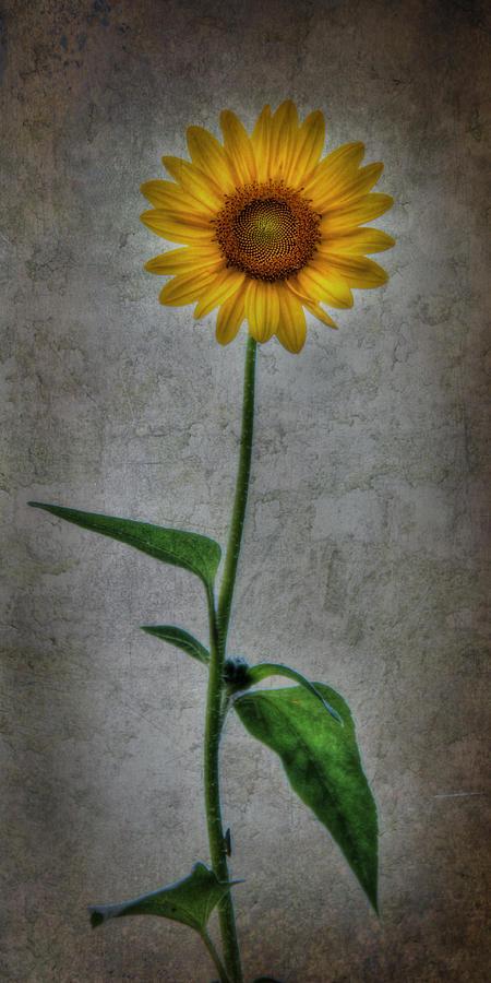 Flower Photograph - Textured Sunflower 1 by Lori Deiter