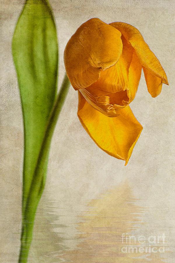 Tulipa Yellow Purissima Photograph - Textured Tulip by John Edwards