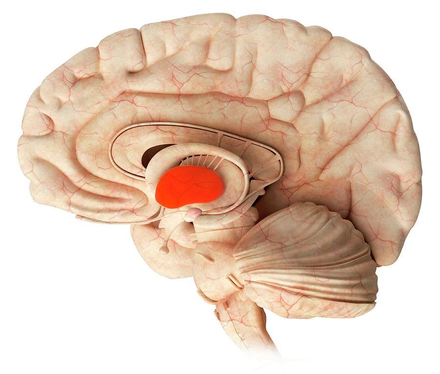 Thalamus In The Brain Photograph by Claus Lunau/science ...