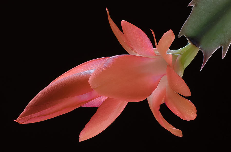 Cactus Photograph - Thanksgiving Cactus by James Barber