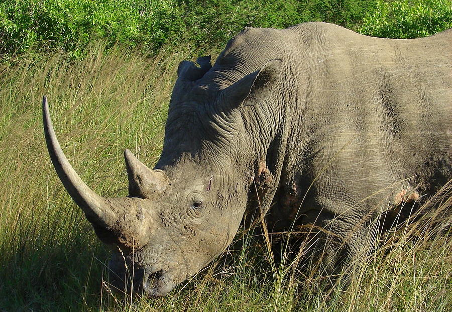 Rhinos Photograph - Thats Close Enough by Ramona Johnston