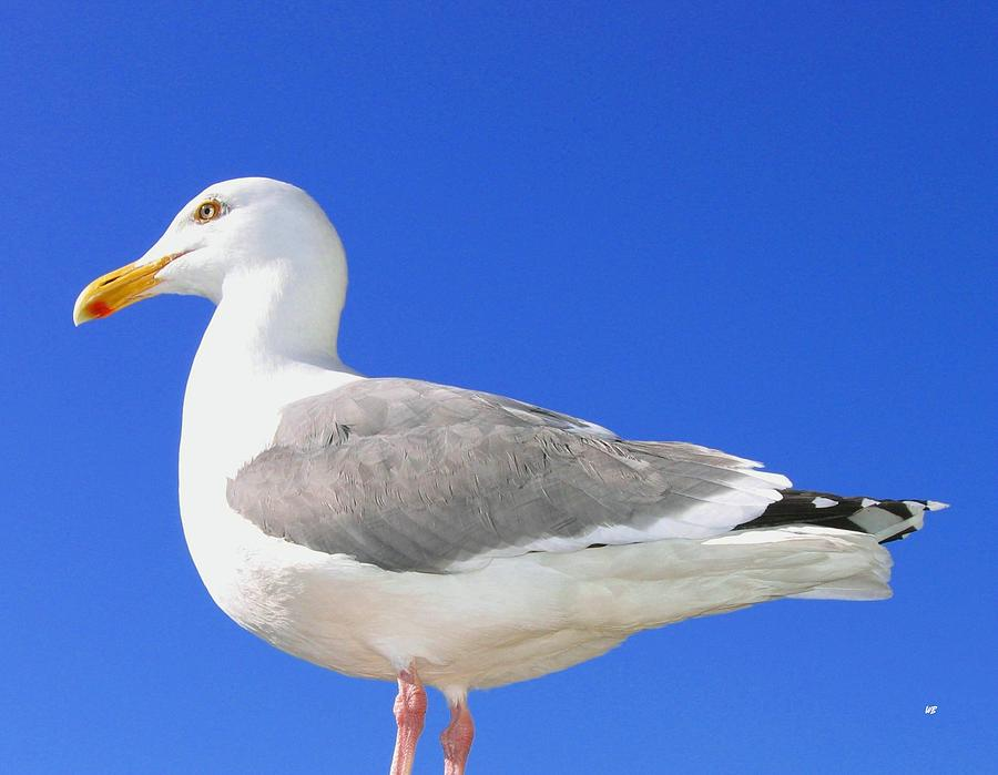 Seagull Photograph - The Admiral by Will Borden