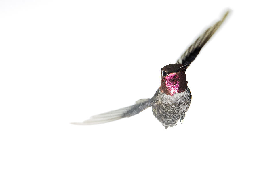 Anna's Hummingbird Photograph - The Aggressor by Mike Herdering