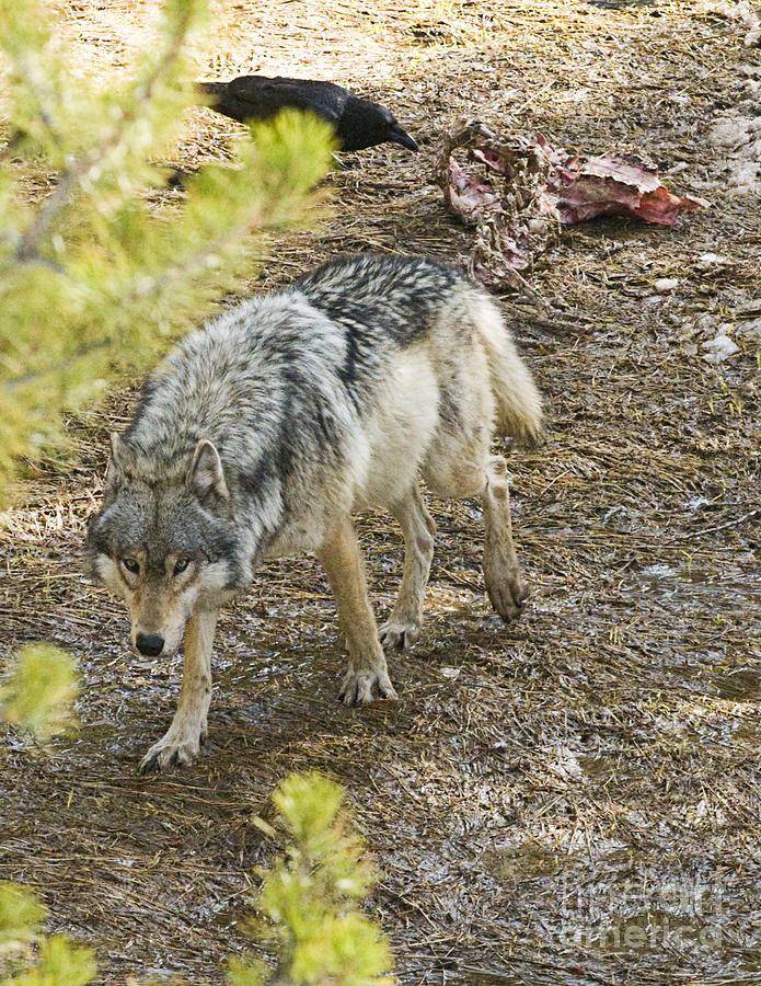 Nature Photograph - The Alpha Female by Bob Dowling