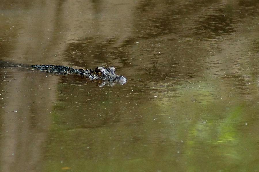 The American Alligator Juvenile Photograph - The American Alligator In The Flint River by Kim Pate
