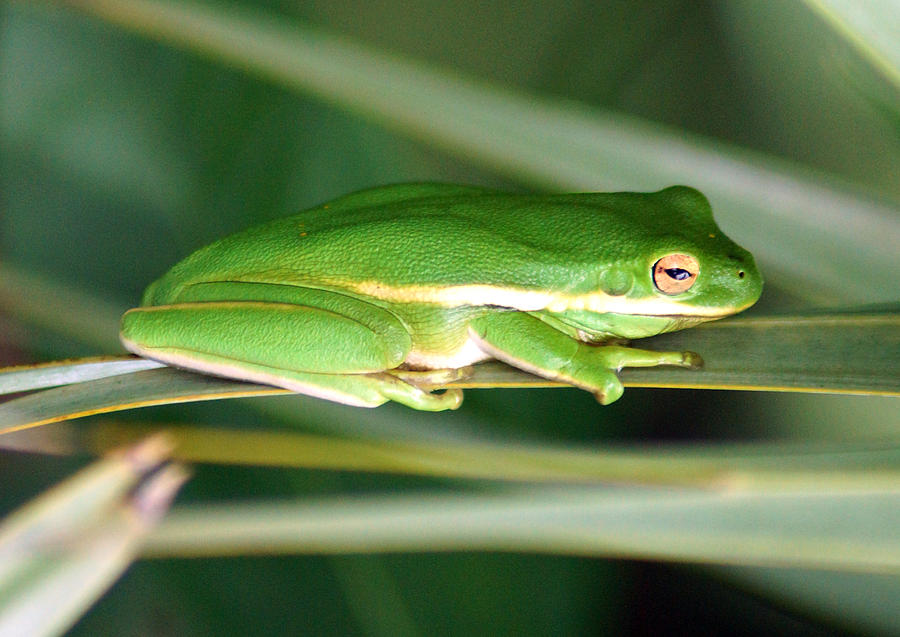 Amphibians Photograph - The American Green Tree Frog by Kim Pate