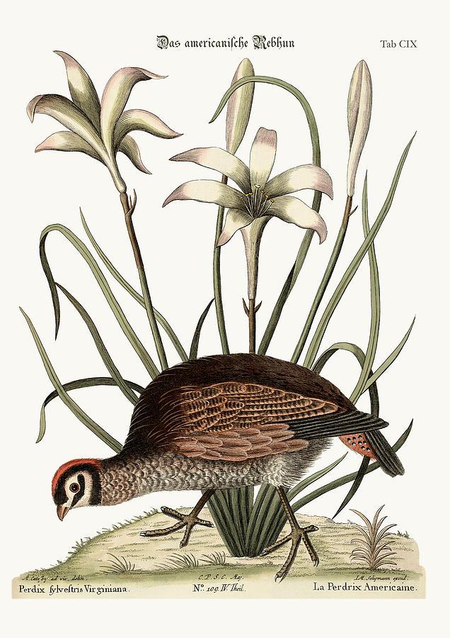 Mark Catesby Drawing - The American Partridge by Splendid Art Prints