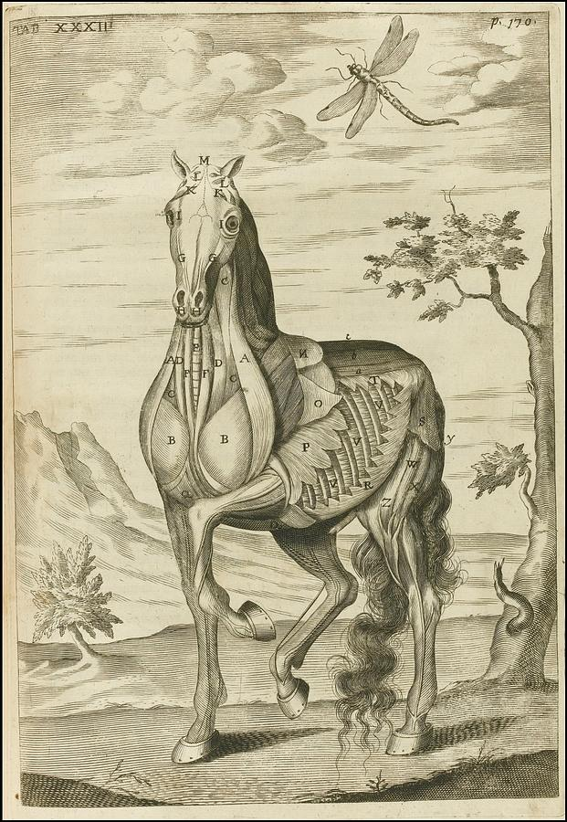 The Anatomy Of A Horse Painting By Celestial Images