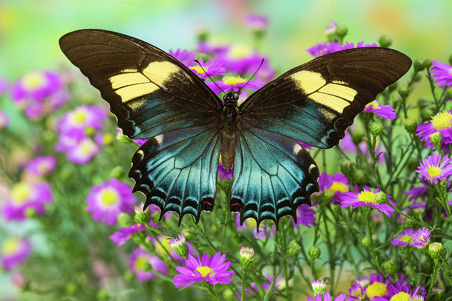 Black Photograph - The Androgeus Swallowtail, Queen Page by Darrell Gulin
