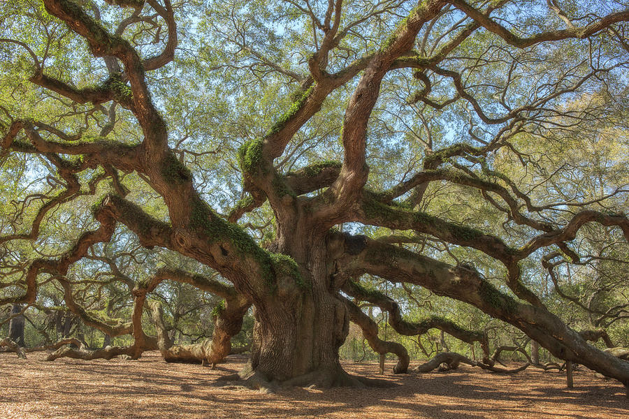 The Angel Oak Photograph by Kathleen Clemons