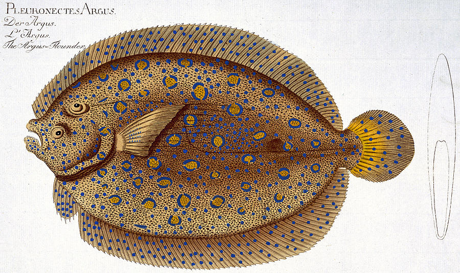 Fish Painting - The Argus Flounder by Andreas Ludwig Kruger
