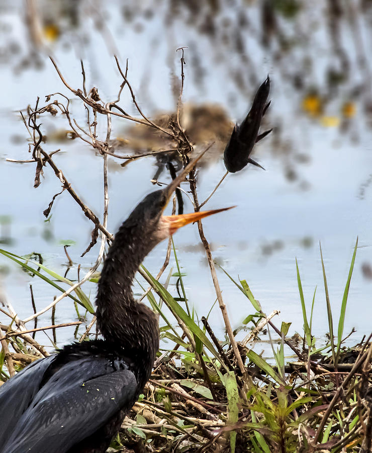 Anhinga Photograph - The Art of Juggling by Norman Johnson