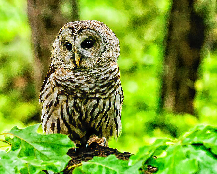 Barred Owl Photograph - The Barred Owl by Louis Dallara
