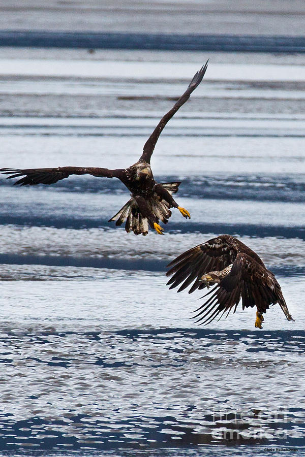 Alaska Photograph - The Battle by Chris Heitstuman
