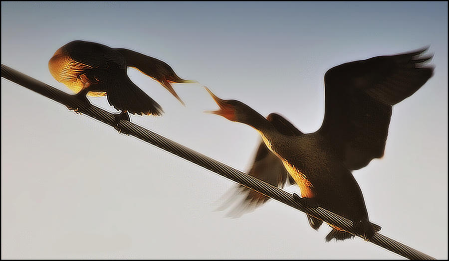Cormorants Photograph - The Battle  by Marysue Ryan