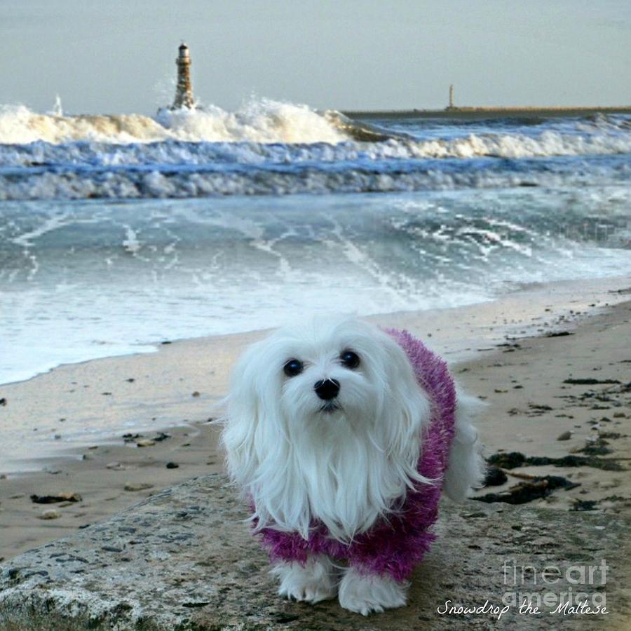 Maltese Dog Mixed Media - The Beach In Winter by Morag Bates
