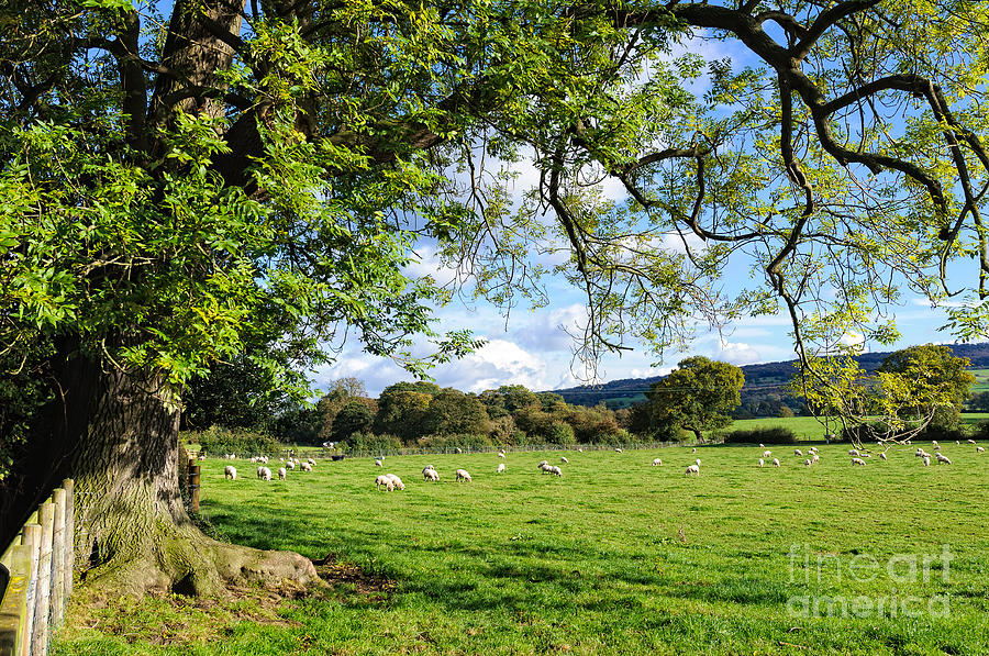 Cheshire Photograph - The Beautiful Cheshire Countryside - Large Oak Tree Frames A Field Of Lambs by David Hill