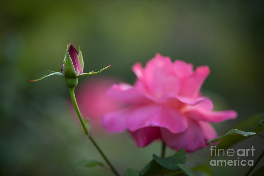 Rose Photograph - The Beauty And The Promise by Mike Reid