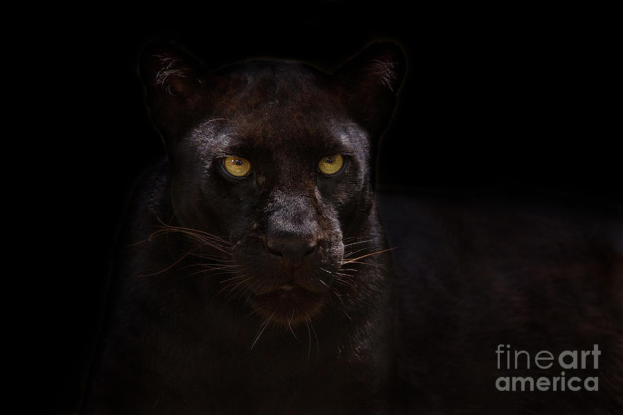 Apex Predator Photograph - The Beauty Of Black by Ashley Vincent