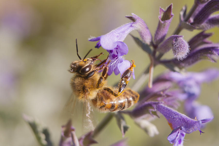 Bee Photograph - The Bees Knees by Caitlyn  Grasso