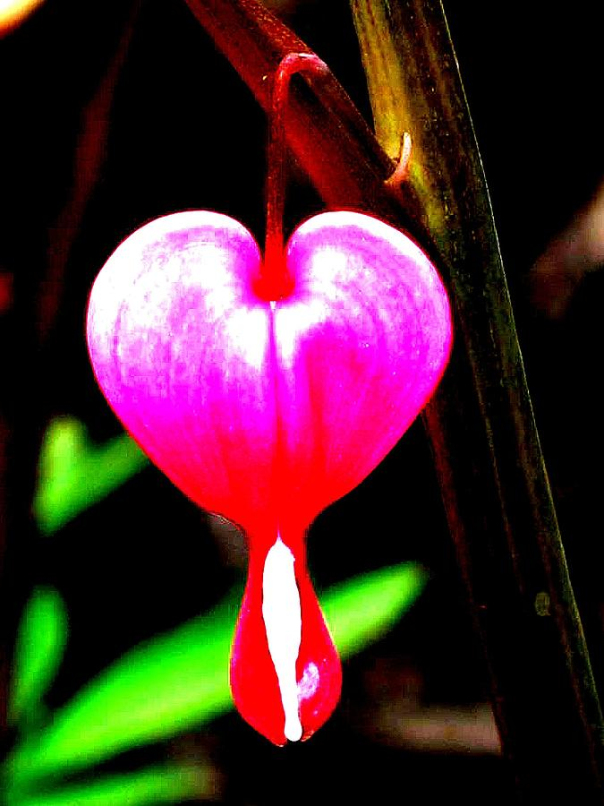 The Bleeding Heart Photograph