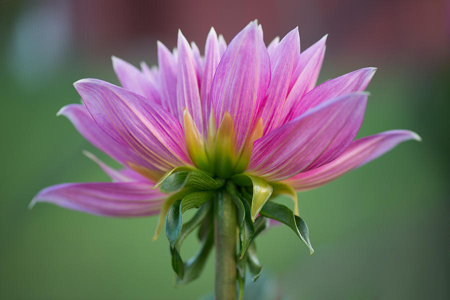 Dahlia Photograph - The Bloom by Paul Johnson