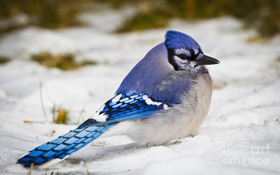 Canon Photograph - The Bluejay by Ricky L Jones