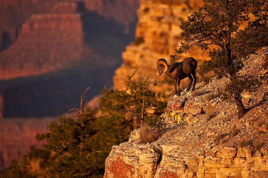 Grand Canyon Photograph - The Boss by Kiril Kirkov