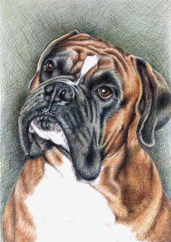 Dog Drawing - The Boxer by Nicole Zeug