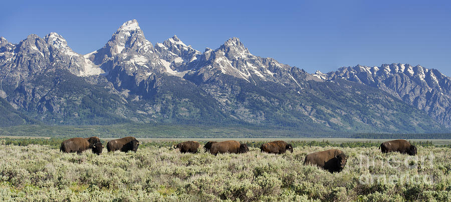 Bison Photograph - The Boys Club Of Grand Teton by Sandra Bronstein