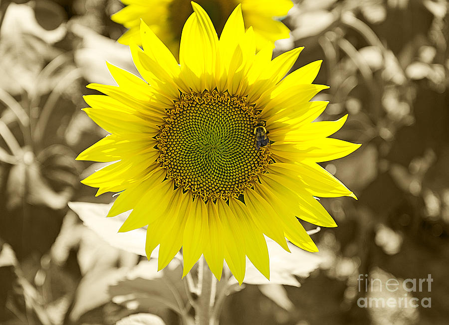 Sunflowers Photograph - The Brightest In The Bunch by John Debar
