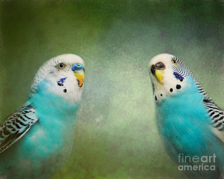 Bird Photograph - The Budgie Collection - Budgie Pair by Jai Johnson