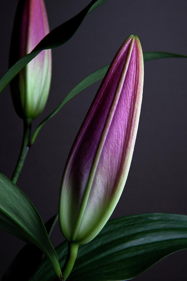 The Buds Of Two Easter Lilies Lilium Photograph by Halfdark