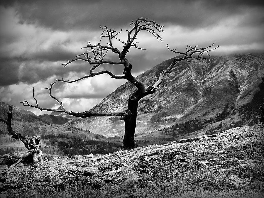 Burmis Tree Photograph - The Burmis Tree by Blair Wainman