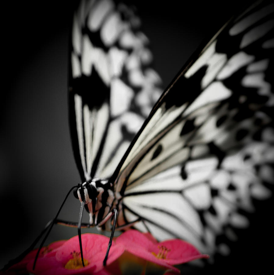 Black And White Butterfly Photograph - The Butterfly Emerges by Jen Baptist