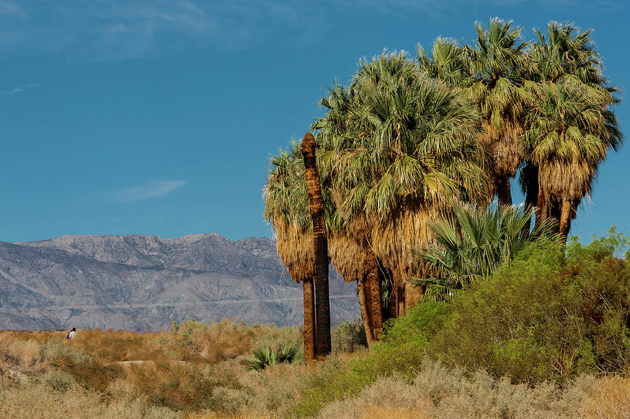 The California Fan Palm Washingtonia Photograph by Danita Delimont