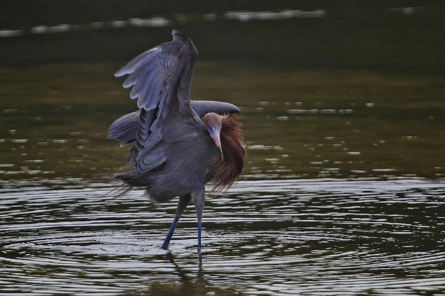 Reddish Egret Photograph - The Canopy Dance by Gary Hall