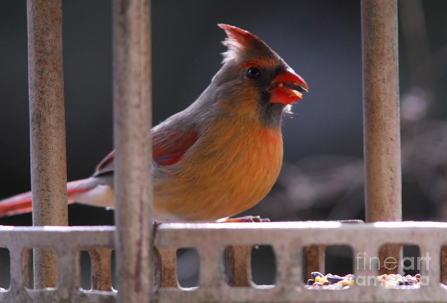 Cardinal Photograph - The Cardinal by Cindy Manero