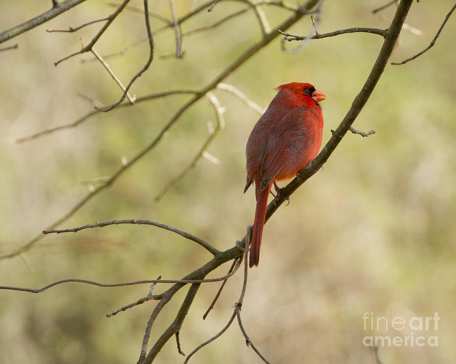 The Cardinal Signs Of Summer by Caisues Photography