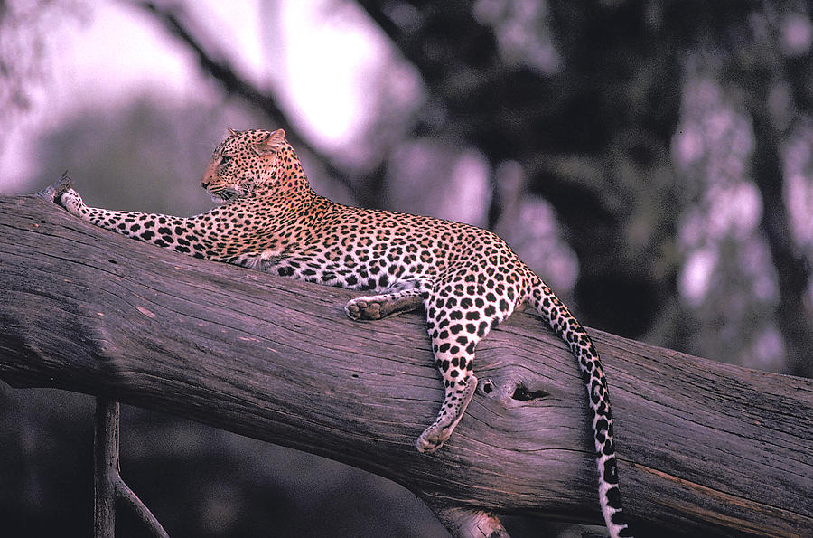 Leopard Photograph - The Cat Who Walks Alone by Carl Purcell