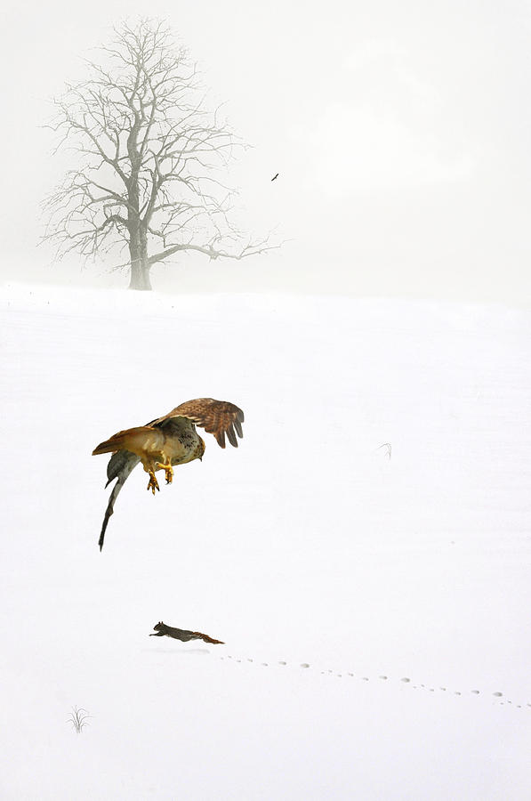 Hawk Photograph - The Catch by Emily Stauring