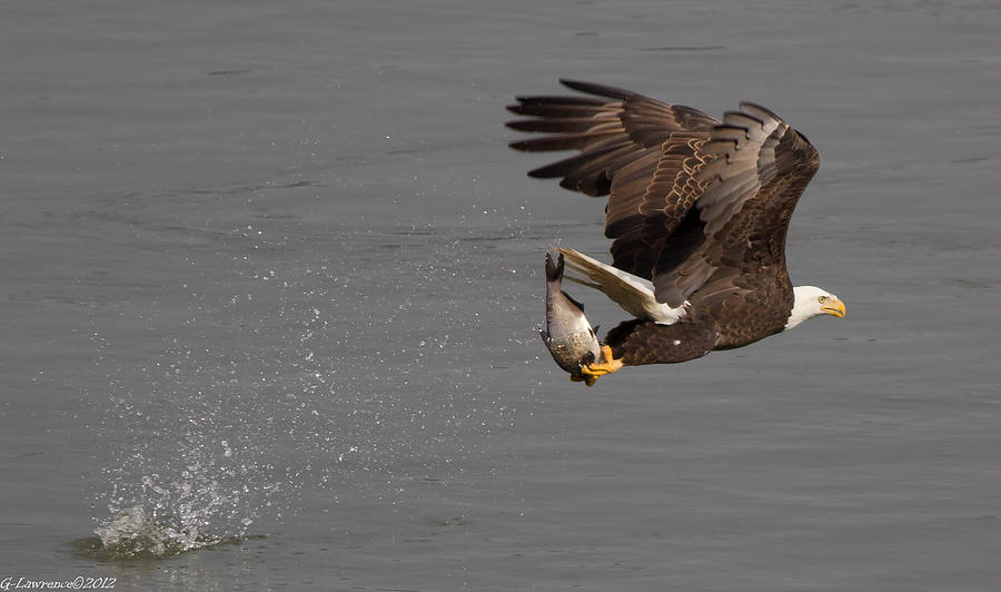 American Bald Eagles Photograph - The Catch  by Glenn Lawrence