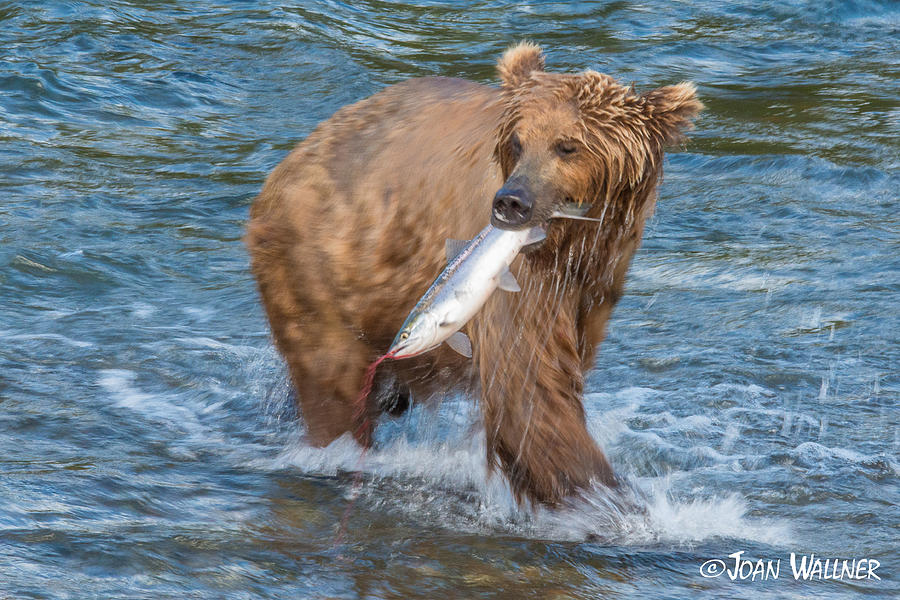 Alaska Photograph - The Catch by Joan Wallner