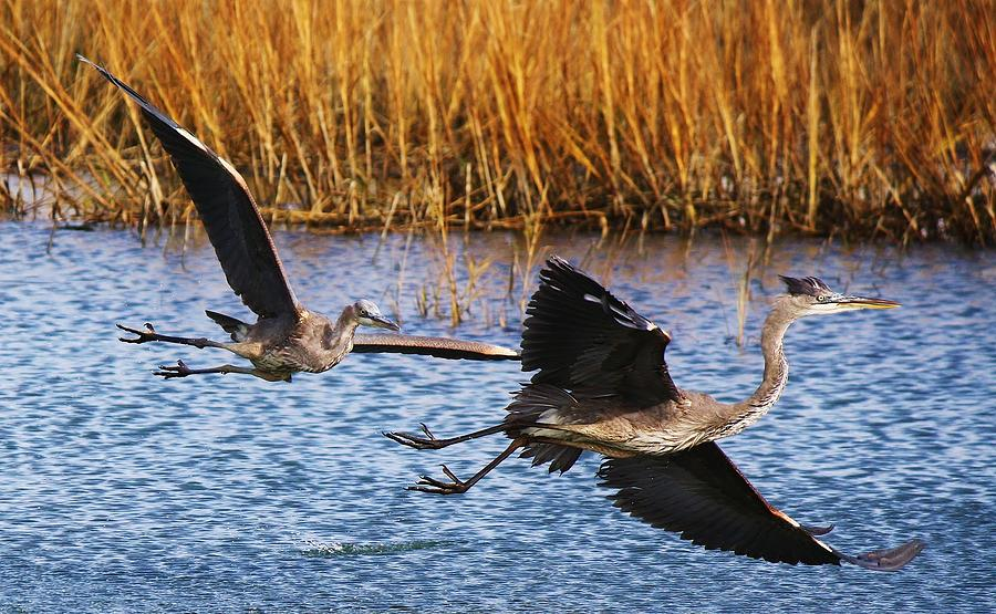 Great Blue Heron Photograph - The Chase - # 22 by Paulette Thomas