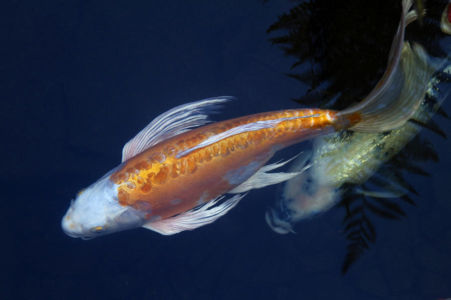 Koi Photograph - The Chase by Rebecca Cozart
