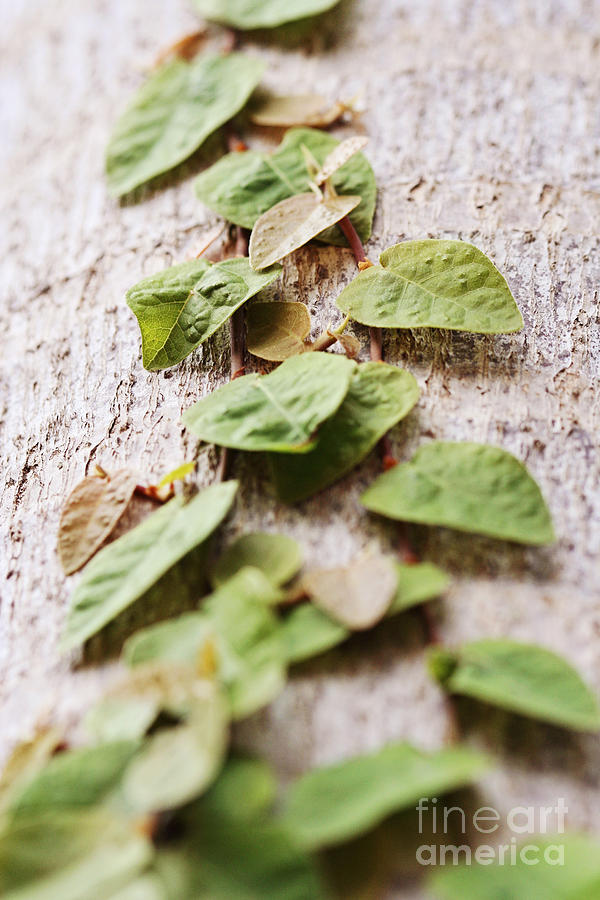 Vine Photograph - The Climb by Pamela Gail Torres