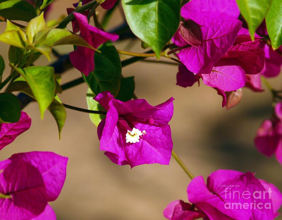 The Color Fuschia by Patricia Griffin Brett