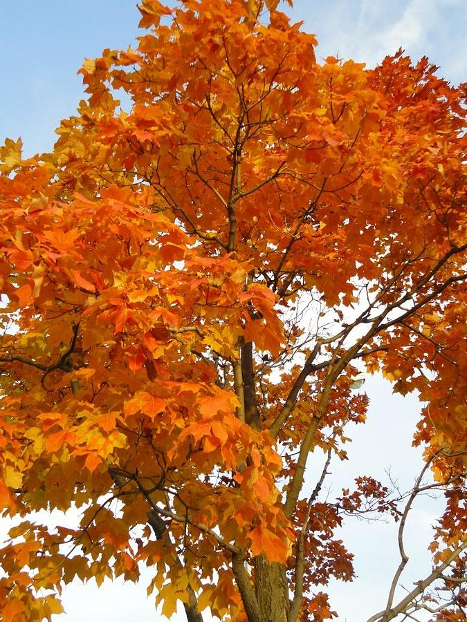 Tree Photograph - The Colors Brought To Autumn by Guy Ricketts
