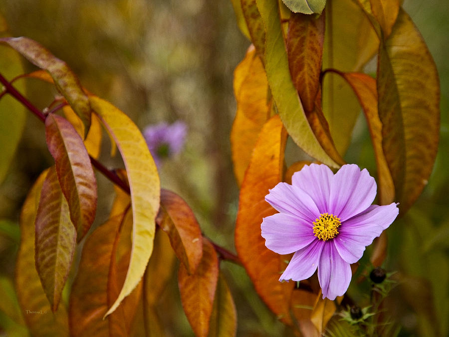 Cosmos Photograph - The Cosmos In The Peach Tree by Theresa Tahara