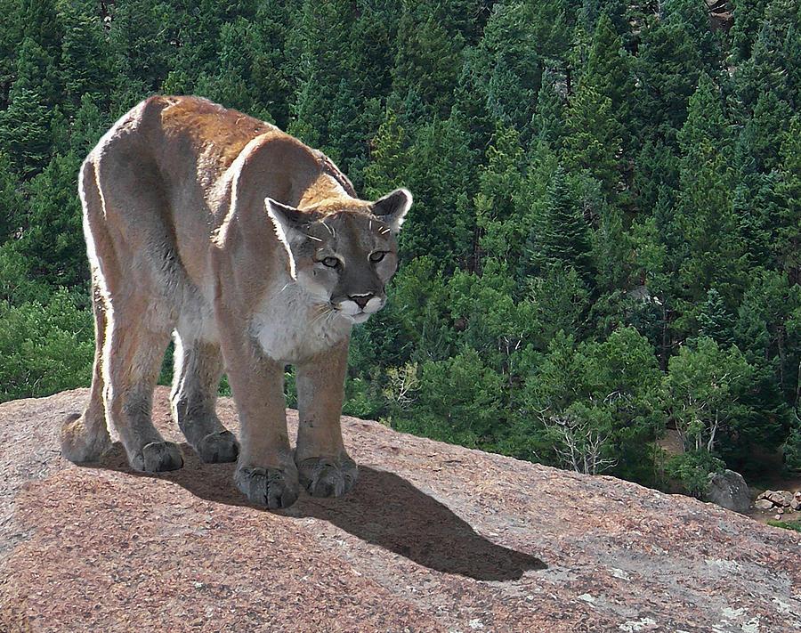 Cats Digital Art - The Cougar 1 by Ernie Echols